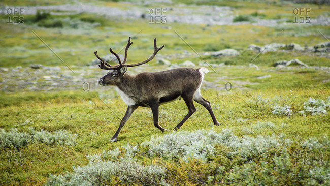 Wild reindeer in the Kebnekaise valley