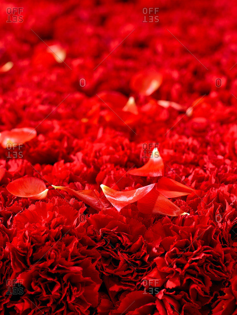 Red rose petals on a bed of red carnations