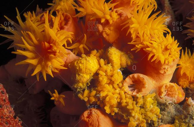 Golden Wentletrap (Epitonium billeeanum) snails, laying eggs on cup corals, Pacific Ocean.