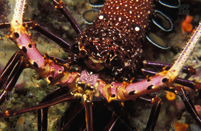 Close-up of a Spiny Lobster, (Panulirus penicillatus), tropical coral reef in southeast Asia.