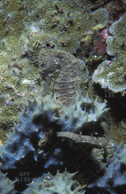 Common Seahorse (H. taeniopterus), Tropical Pacific waters in the Coral Triangle region
