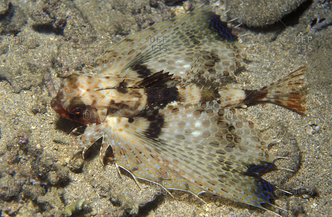 Flying Gurnard (Dactyloptena orientalis) fish, resting on a sand bottom, Indonesia, tropical Indo-Pacific oceans.
