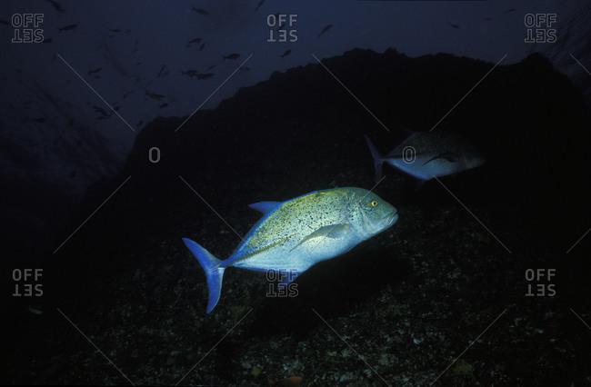 A Bluefin Jack (Caranx melampygus) swims in dark ocean waters off the coast of Baja, Mexico in the Pacific Ocean.
