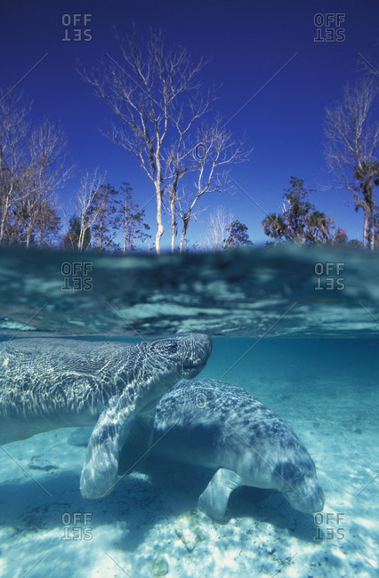 Two Florida Manatees (Trichechus manatus latirostris) just beneath the surface of Crystal River in Florida, USA.