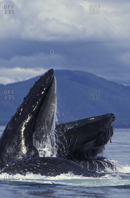 Humpback Whale (Megaptera novaeangliae) with mouth wide open at the surface of the water.