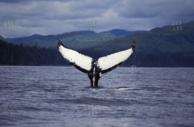 Humpback Whale (Megaptera novaeangliae),  begins dive, Northeastern Pacific Ocean.