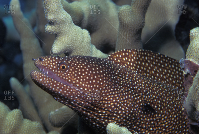 Whitemouth Moray Eel (Gymnothorax meleagris) peers out from the coral reef in the tropical South Pacific