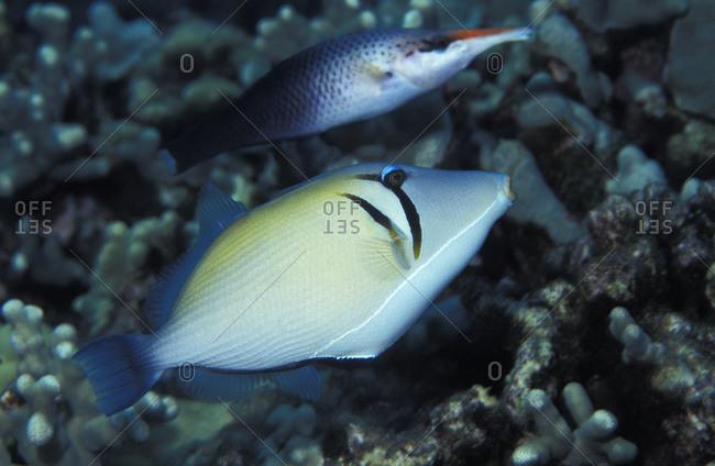Boomerang Triggerfish (Sufflamen bursa), Hawaii, USA