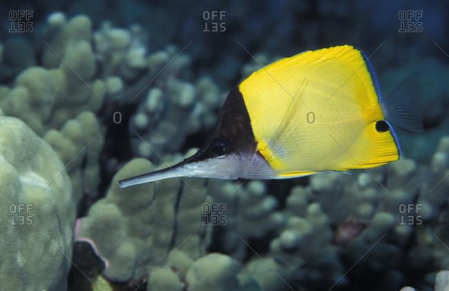 Longnose Butterflyfish (Forcipiger longirostris), Kiribati (Christmas Island) in the central Pacific Ocean.