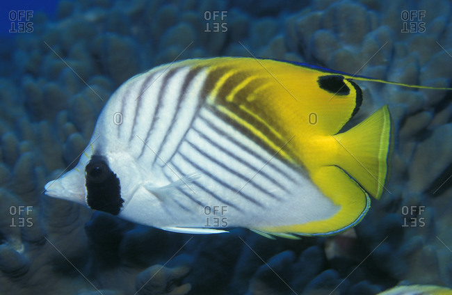 Threadfin Butterflyfish (Chaetodon auriga) from the coral reef habitat in the tropical Pacific Ocean