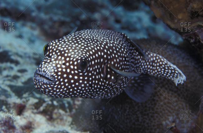 One Guineafowl Puffer fish (Arothron meleagris),   Christmas Island (Kiribati), tropical Indo-Pacific oceans.