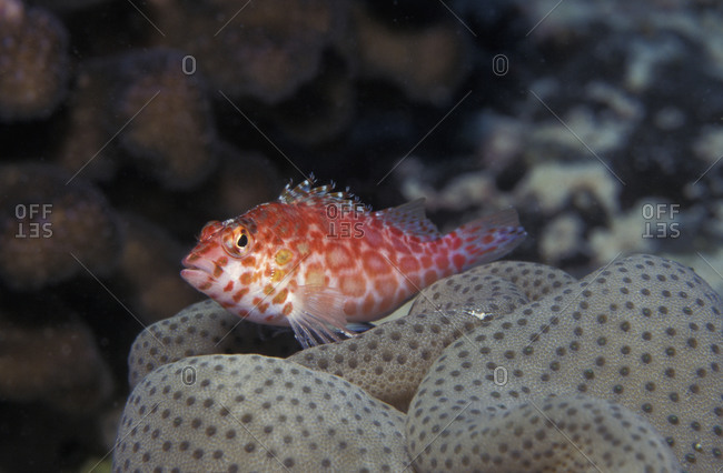 Coral Hawkish (Cirrhitichthys oxycephalus) resting atop a leather coral on a shallow tropical, Christmas Island, Indo-Pacific ocean region.