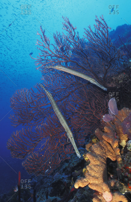 Trumpetfish (Aulostomus maculatus), two hovering side by side in front of sea fan, waiting to ambush prey. Caribbean Sea..