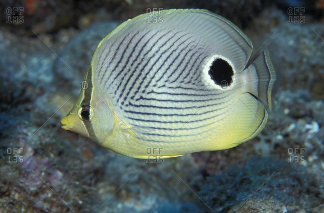 A Foureye Butterflyfish (Chaetodon capistratus), Caribbean Sea.