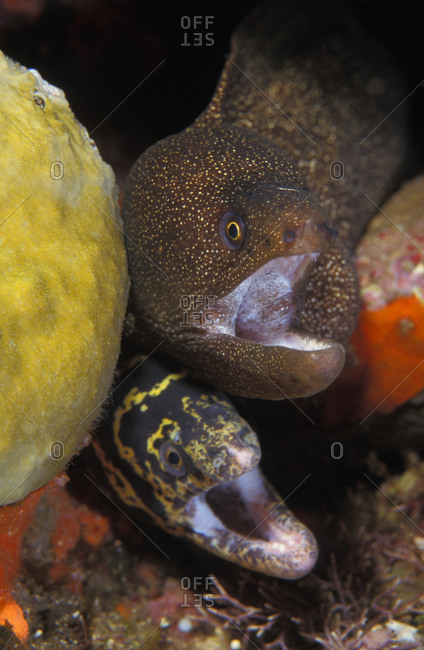 A Goldentail Moray Eel (Gymnothorax miliaris) overtop a Chain Moray Eel (Echidna catenata) on a Caribbean coral reef.