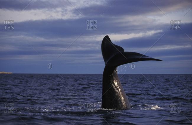 Southern Right Whale (Eubalaena australis), Golfo Nuevo, Argentina
