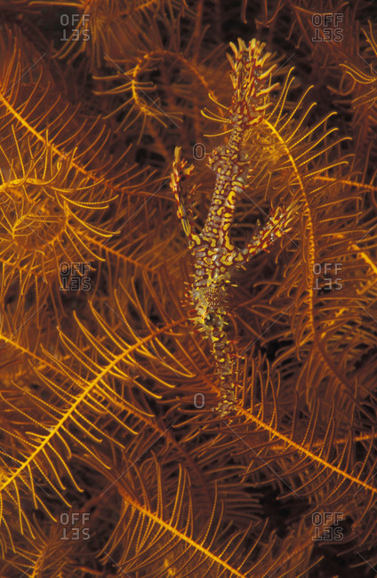 Ornate Ghost Pipefish (Solenostomus paradoxus) well camouflaged next to crinoid (feather star), vertical format stock photo.