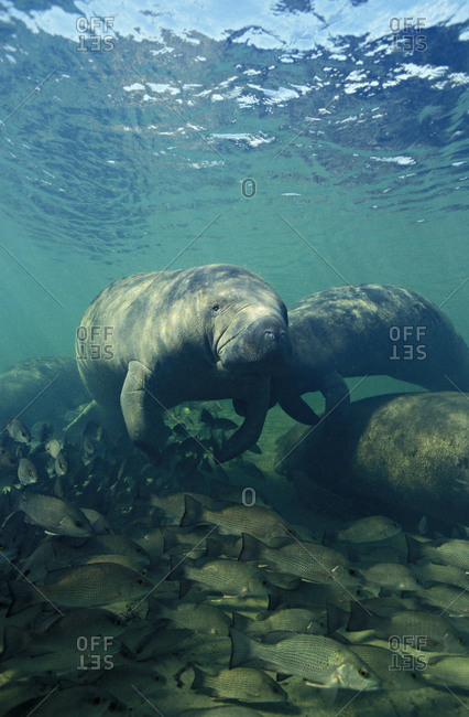 Florida Manatees (Trichechus manatus latirostris), and Mangrove Snappers (Lutjanus griseus), near freshwater spring in west central Florida, USA.