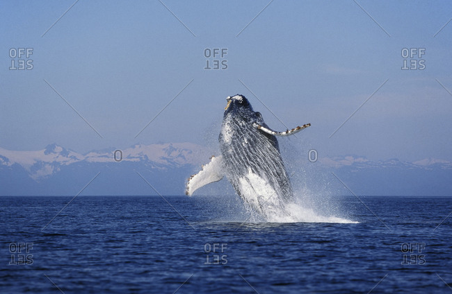 Humpback Whale (Megaptera novaeangliae) breaching, leaping out of the ocean.