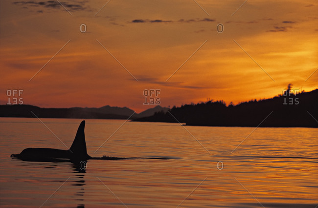 Male Orca Whale (Orcinus orca), swimming at the surface during sunset, Pacific Northwest.