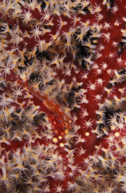 Common Ghost Goby (Pleurosicya mossambica), a small fish well camouflaged on a gorgonian sea fan in the tropical Pacific ocean.
