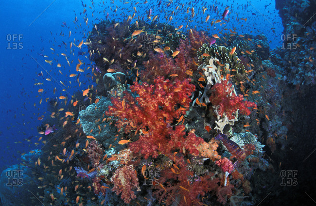 Soft corals (Dendronephthya sp.) thriving on current-washed reefs warming with anthias (aka fairy basslets) (Pseudanthias sp.). Fiji, tropical Indo-Pacific oceans.