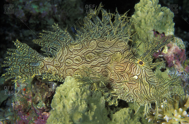 A Lacey Scorpionfish (Rhinopias aphanes) camouflages perfectly when amongst crinoids (feather stars). Papua New Guinea, tropical Asian Pacific region.