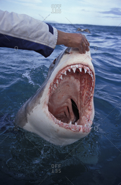 Great White Shark (Carcharodon carcharias), trained shark wrangler touching nose of 9 foot long white shark with mouth wide open.