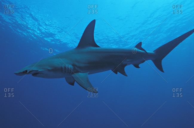 Great Hammerhead Shark (Sphyrna mokarran), 10 foot long solitary species with large dorsal fin.