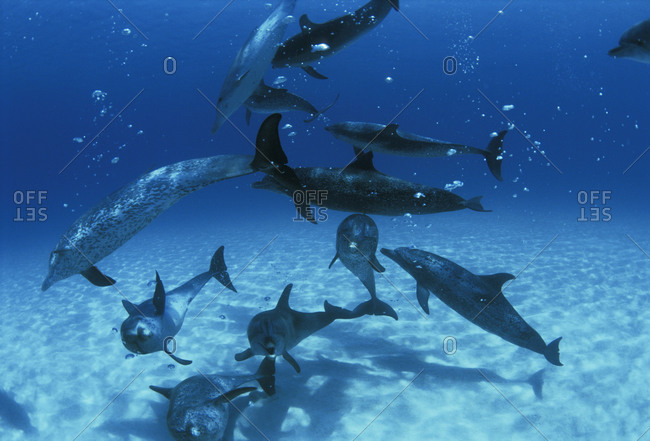 Group of Atlantic Spotted Dolphins (Stenella frontalis.