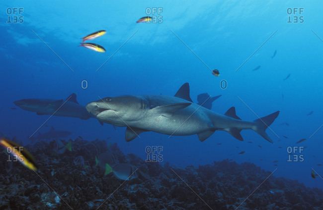 A Whitetip Reef Shark (Triaenodon obesus) swimming in the rich equatorial waters surrounding the Galapagos Islands of Ecuador, Pacific Ocean.