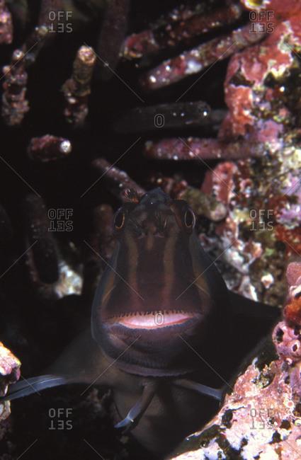 Panamic Fanged Blenny (Ophioblennius steindachneri
