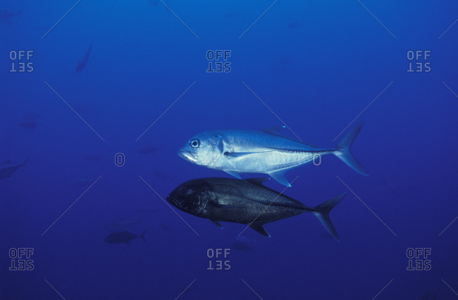Bigeye Jacks (Caranx sexfasciatus), courtship behavior- male has changed to black color. Costa Rica, tropical Indo-Pacific oceans.