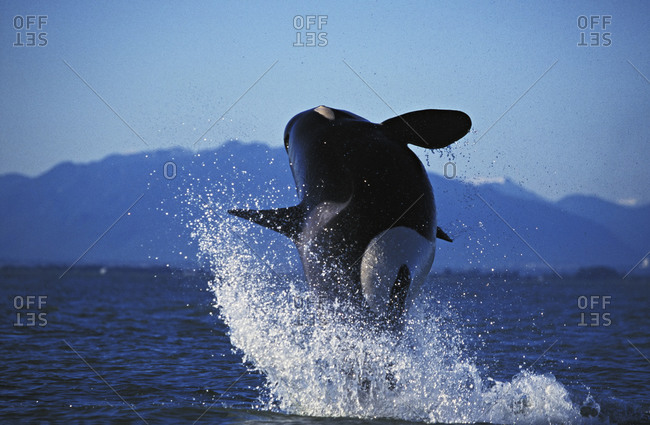 Orca Whale (Orcinus orca) in mid-air