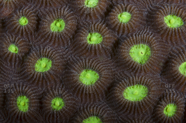 Hard coral (Favites abdita), tentacles retracted during tropical Indo-Pacific oceans..