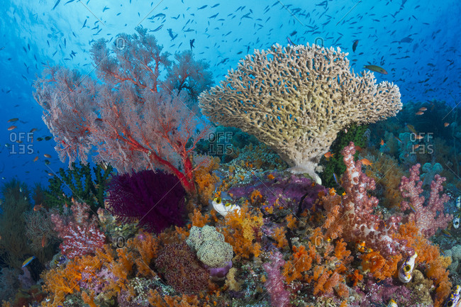 Healthy coral reef on which hard and soft corals, sponges, tunicates, and other invertebrates and of course myriad fish thrive. tropical Indo-Pacific Oceans.