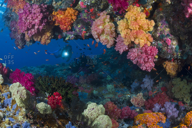 Scuba diver looking through reef window decorated with vibrant soft corals. tropical Indo-Pacific Oceans.