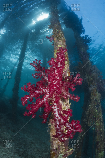Soft coral (Dendronephthya sp.) on a piling  beneath the Arborek jetty. Raja Ampat, eastern Indonesia, tropical Indo-Pacific Ocean.