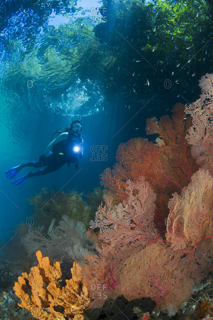 View of the jungle above gorgonian sea fans (Melithaea sp.) in a shallow current-swept passage with scuba diver.