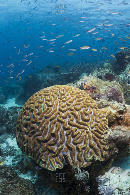 Fish swimming overtop coral reef with brain coral in foreground. tropical Indo-Pacific oceans..