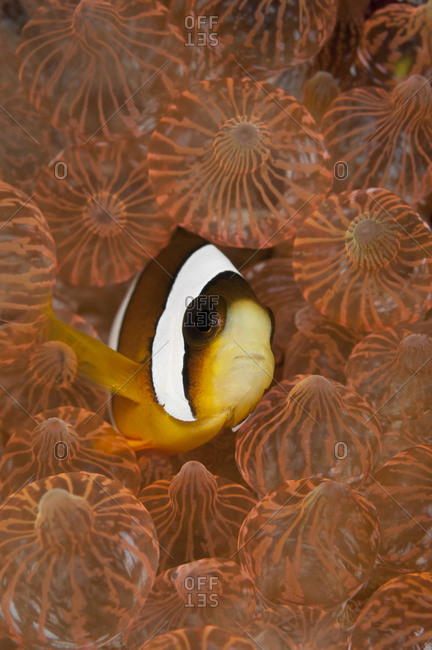 Clark's Anemonefish (Amphiprion clarkii), a common clownfish species, in Bulb Tentacle Sea Anemone (Entacmaea quadricolor). tropical Indo-Pacific Oceans.