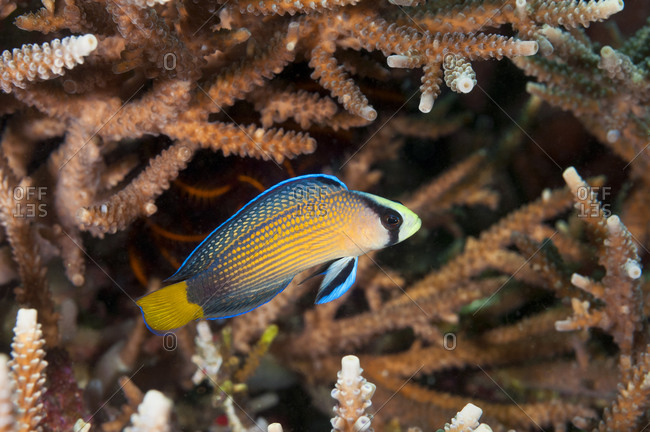 Splendid Dottyback fish (Pseudochromis splendens) sheltering amongst branches of hard coral, tropical Indo-Pacific Oceans.