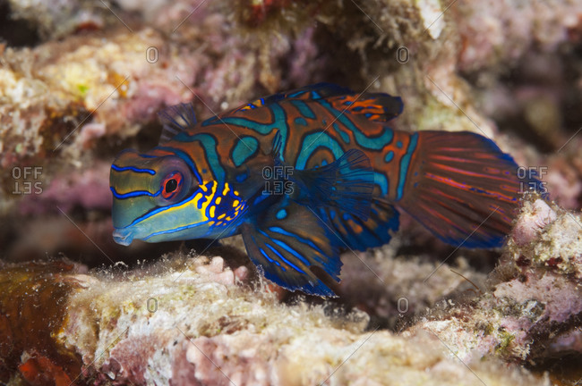 Male Mandarinfish (Synchiropus splendidus), 2 inches long, shelters among coral rubble, Indonesia, tropical Indo-Pacific Oceans.