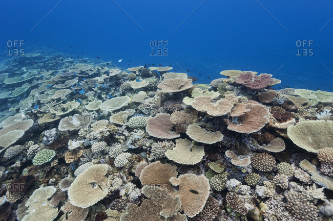 Pristine coral reef, Pacific Ocean.