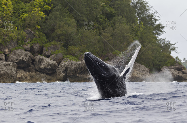 Humpback Whale (Megaptera novaeangliae) leaping out of the ocean near a tropical island in the Pacific Ocean.
