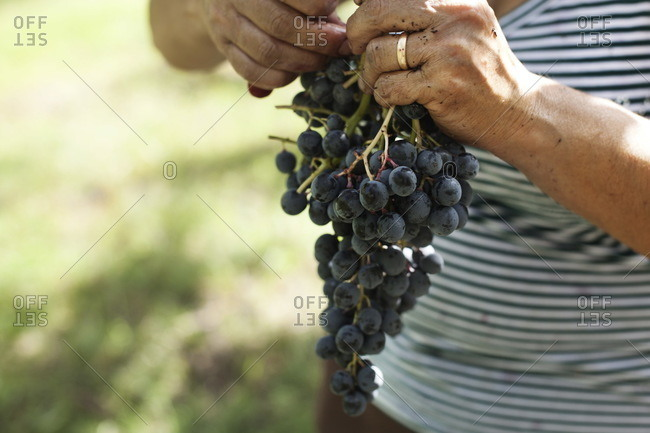Woman holding a bunch of grapes