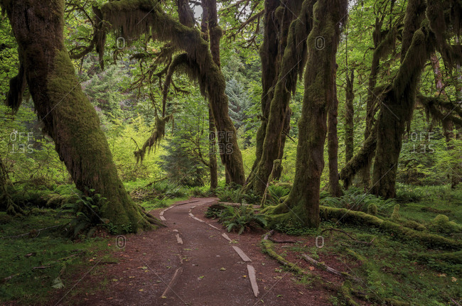 The Hall of Mosses trail in the Hoh Rainforest section of the Olympic National Park, Washington