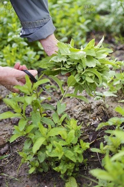 Harvesting foxtail mint, Mentha x villosa