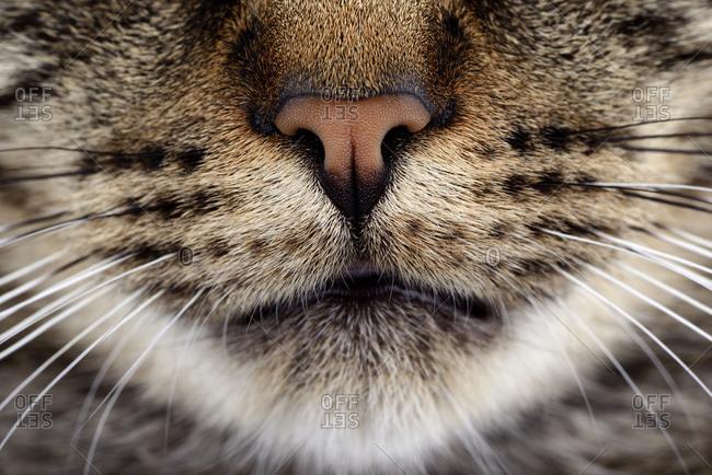 Snout of tabby cat, Felis silvestris catus