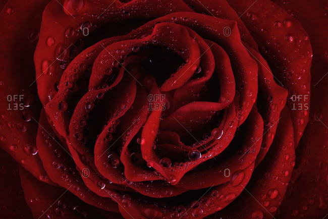 Blossom of red rose, Rosa, with water drops, partial view